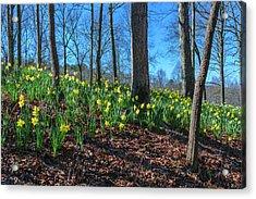 Daffodils On Hillside Acrylic Print
