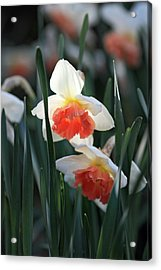 Daffodils Spring Is Here Acrylic Print by Pierre Leclerc Photography