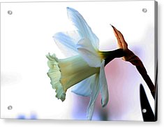 Daffy Acrylic Print by Doug Norkum