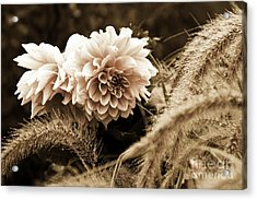 Dahlia After A Shower Acrylic Print