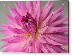 Dahlia After The Rain Acrylic Print