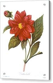 Dahlia (dahlia Pinnata) Acrylic Print by Granger
