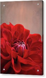 Dahlia Dalliance  Acrylic Print by Marion Cullen