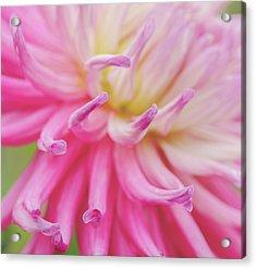 Dahlia Fingers  Acrylic Print