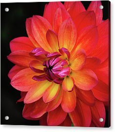 Acrylic Print featuring the photograph Dahlia Firepot  by Julie Palencia