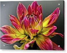 Acrylic Print featuring the photograph Dahlia Flame by Joann Copeland-Paul