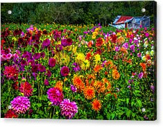 Dahlia Garden Oregon Acrylic Print by Garry Gay