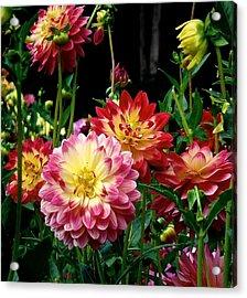 Dahlia Garden Time  Acrylic Print