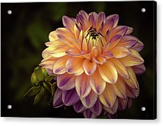 Acrylic Print featuring the photograph Dahlia In Peach And Lavender by Julie Palencia