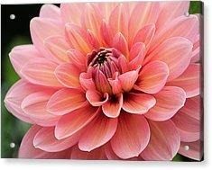 Acrylic Print featuring the photograph Dahlia In Pink And Peach by Julie Palencia