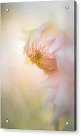 Dahlia In The Soft Morning Mist Acrylic Print
