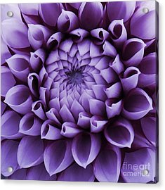 Dahlia Macro In Lavender Acrylic Print