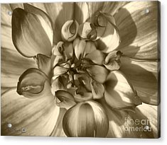 Dahlia Named Who Dun It Acrylic Print