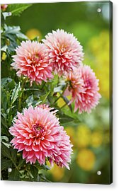 Dahlia Passion Fruit Acrylic Print