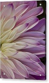 Dahlia Petals 2 Acrylic Print