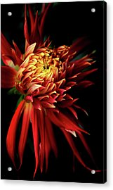 Dahlia Show And Tell Acrylic Print by Jessica Jenney