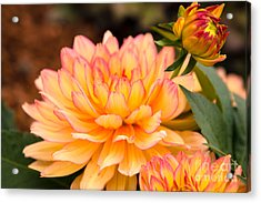 Dahlias In The Garden Acrylic Print