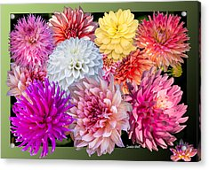 Acrylic Print featuring the photograph Dahlias Of The Yukon by Claudia Abbott