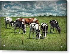 Dairy Cattle Grazing In A Pasture In West Michigan Acrylic Print by Randall Nyhof