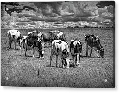 Dairy Cattle Pasture Grazing In Black And White Acrylic Print by Randall Nyhof