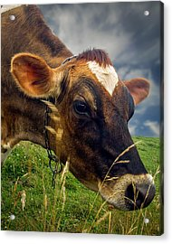 Dairy Cow Eating Grass Acrylic Print by Bob Orsillo