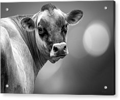 Dairy Cow Elsie Acrylic Print by Bob Orsillo