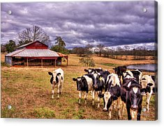 Dairy Heifer Groupies The Red Barn Art Acrylic Print by Reid Callaway