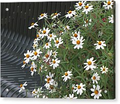 Daisies By The Bench Acrylic Print by Sylvia Wanty