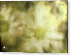 Acrylic Print featuring the photograph Daisies by Gray  Artus