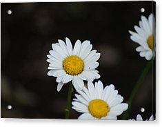 Daisies Acrylic Print by Heather Green