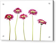 Acrylic Print featuring the photograph Daisies In A Row by Rebecca Cozart