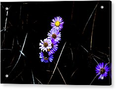Acrylic Print featuring the photograph Daisies In Purple by Lorraine Devon Wilke