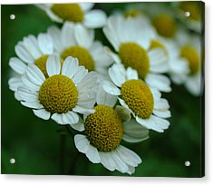 Daisies Acrylic Print by Juergen Roth