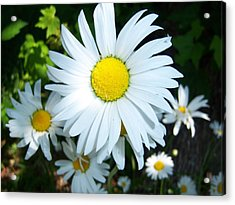 Daisies Acrylic Print by Ken Day
