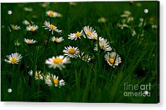Acrylic Print featuring the photograph Daisies by Louise Fahy