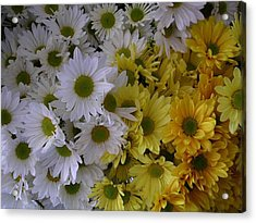 Daisies Acrylic Print by Nancy Ferrier