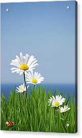 Daisies On A Cliff Edge Acrylic Print by Andrew Dernie