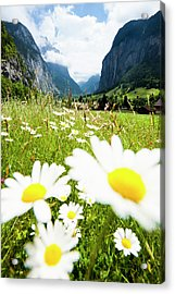Daisies On A Meadow In Lauterbrunnen Valley Acrylic Print