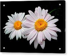 Daisies Acrylic Print by Sholeh Mesbah