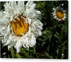 Acrylic Print featuring the photograph Daisy 2 by Robin Coaker