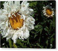 Daisy 2 Acrylic Print