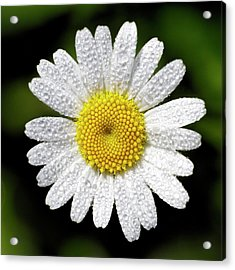 Daisy And Dew Acrylic Print by Rob Graham