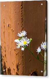 Daisy And Rust Acrylic Print