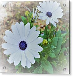 Daisy Acrylic Print by Ann Johndro-Collins
