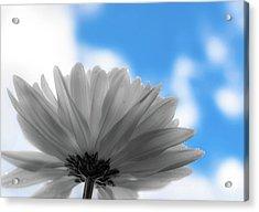 Daisy Blue Acrylic Print