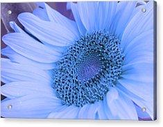 Daisy Blue Acrylic Print by Marie Leslie