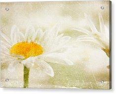 Daisy Acrylic Print by Catherine Alfidi