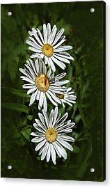Daisy Chain Acrylic Print by Marie Leslie