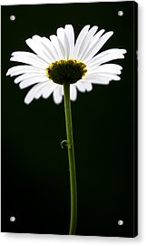 Daisy Down Under Acrylic Print