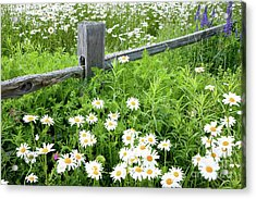 Daisy Fence Acrylic Print by Susan Cole Kelly